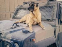 Morto in servizio Jimmy, decano dei cani anti-esplosivo del contingente italiano in Libano