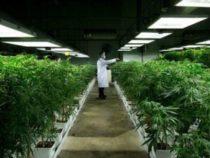 Difesa: Bando per acquistare 400 kg di cannabis terapeutica all'estero