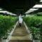 Cannabis terapeutica: Progetto tra Regione Toscana e stabilmento chimico farmaceutico militare