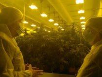Cannabis terapeutica: Lo Stabilimento chimico farmaceutico militare autorizzato a produrne 500 kg per il 2020