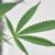 Coltivare la cannabis in casa in minime quantità non costituirà più reato